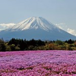 富士芝桜まつり2015 GW期間中の営業時間と駐車場情報