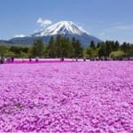 富士芝桜まつり2015見頃は?イベントや渋滞情報も