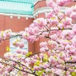 造幣局 桜の通り抜けの開催日程とアクセス 混雑状況は?