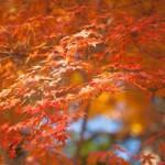 滋賀県 メタセコイア並木道の紅葉 見所やアクセス お祭り等の情報満載