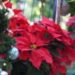 ポインセチアのクリスマス後 葉を赤くキープする3つのポイント